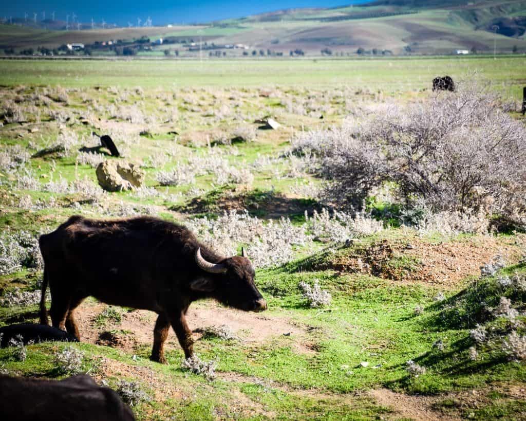 Wild African Buffalo at Lake Ichkeul