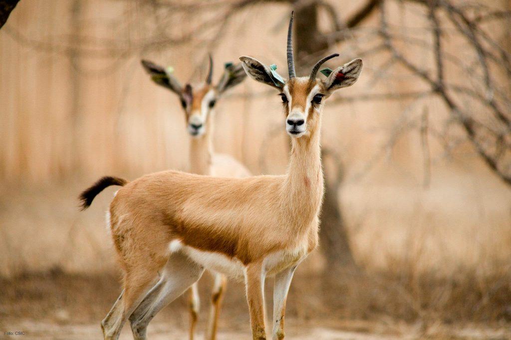 Dorcas gazelle in Dghoumes National Park.