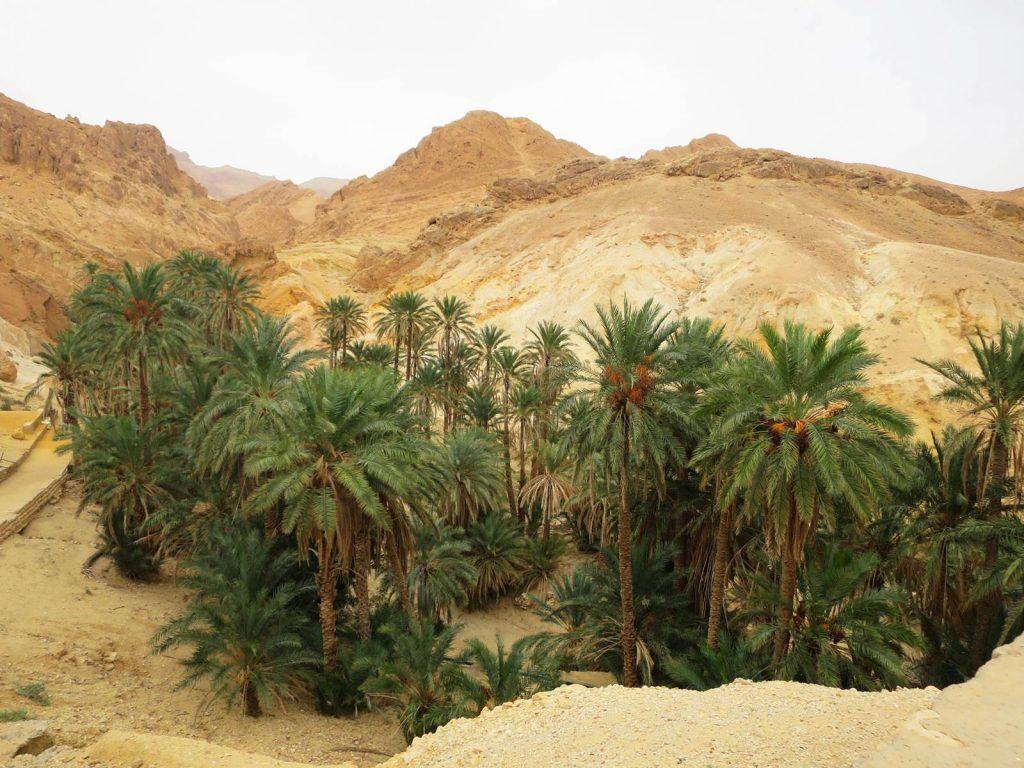 Tunisian dates palm trees in Chebika, Tozeur, Tunisia.