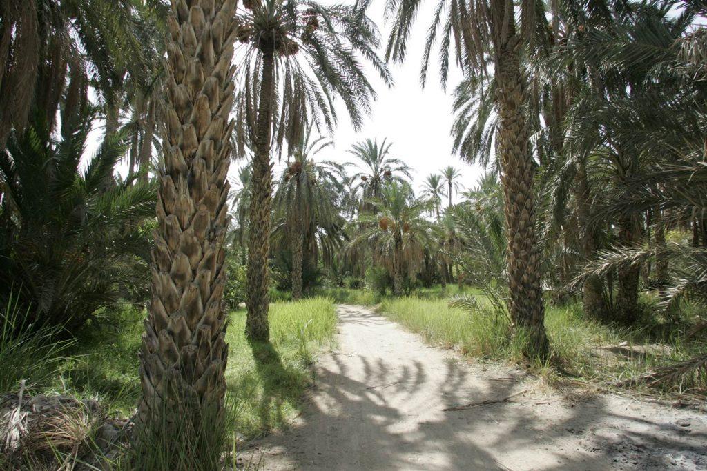 Tunisian dates deglet Nour Palm trees in Kebili, Tunisia.