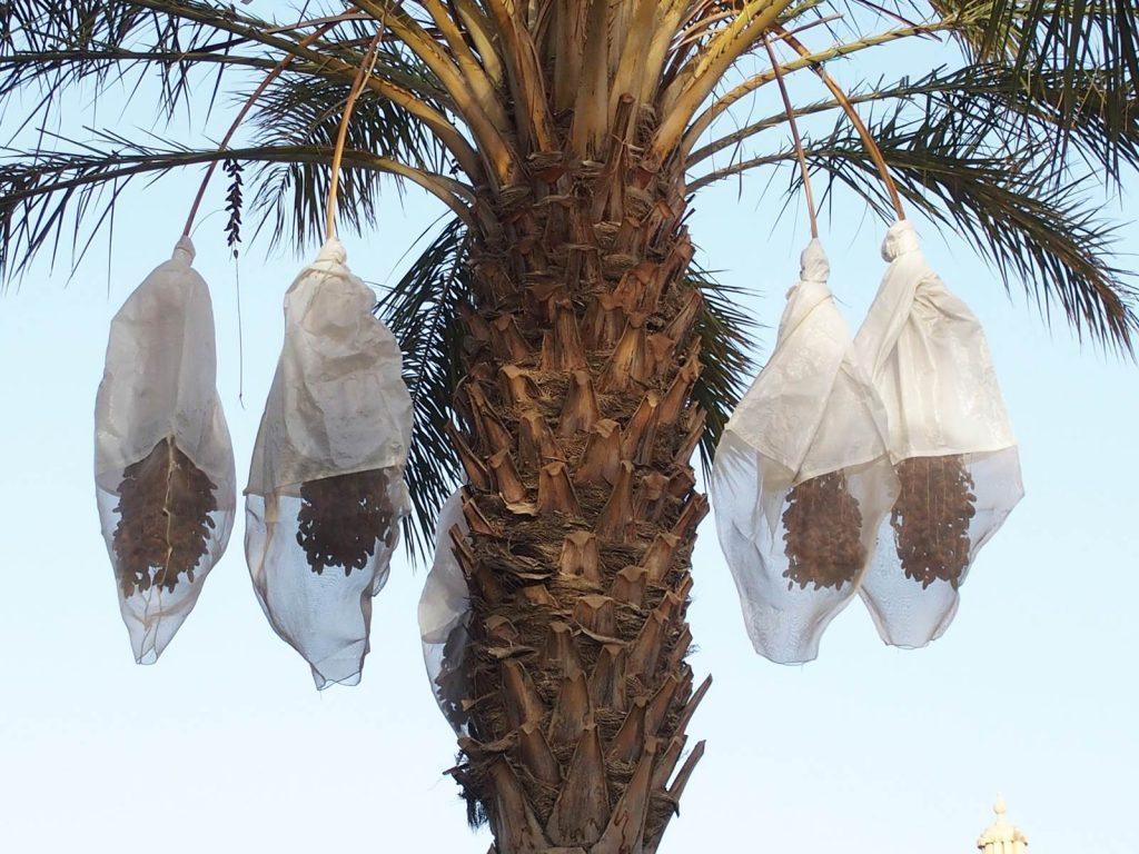 Tunisian dates - Deglet Nour Palm trees in Tozeur, Tunisia.